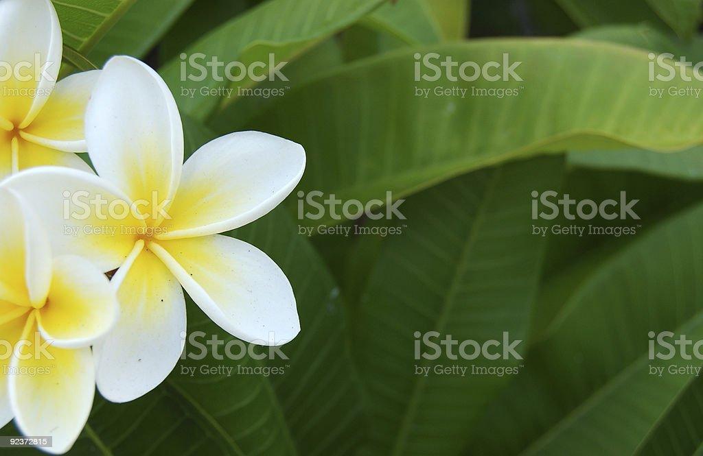 frangipani royalty-free stock photo