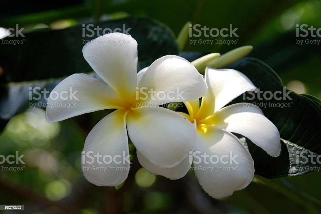 frangipani royalty-free stock photo