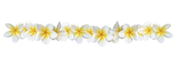 frangipani plumeria blumen - blumenstreifen stock-fotos und bilder