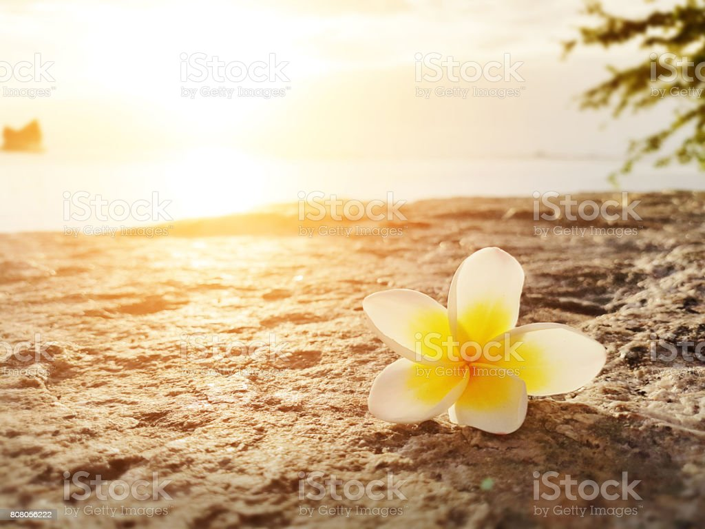 Frangipani ,Plumeria flower on the floor with sunset background at the sea beach stock photo