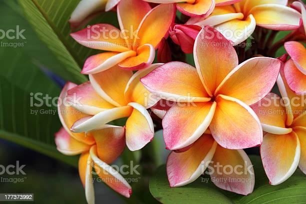 Frangipani plumeria flower picture id177373992?b=1&k=6&m=177373992&s=612x612&h=ft8345oakykilvbuykc2uajts95yfv ky1t8e5v9bfi=