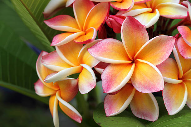 Fleurs de frangipanier, Plumeria - Photo
