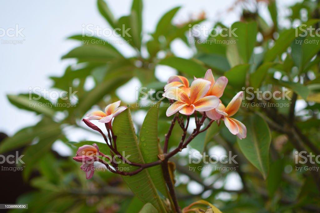 Frangipani Plumeria Tiare flower Tahitian gardenia Natural background...