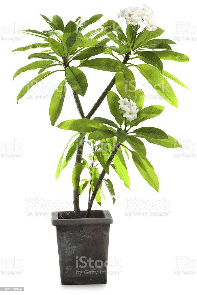 Frangipani Tree stock photo