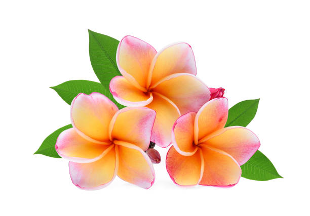 frangipani tropical flower, plumeria, lanthom, leelawadee flower with green leaves isolated white background - hawaiian flowers stock photos and pictures