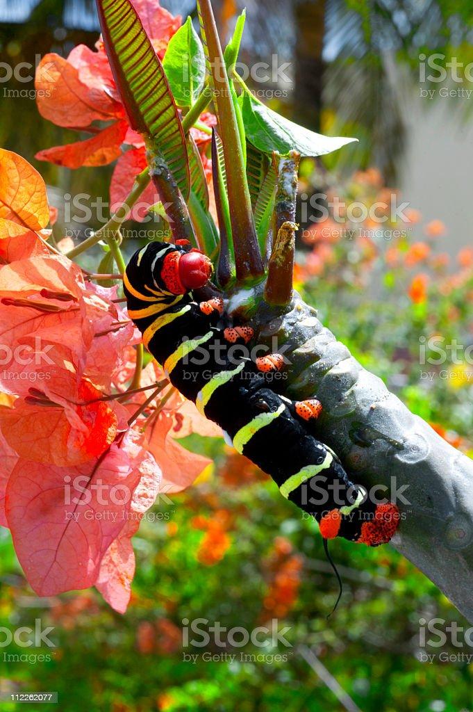 Frangipani worm caterpillar royalty-free stock photo