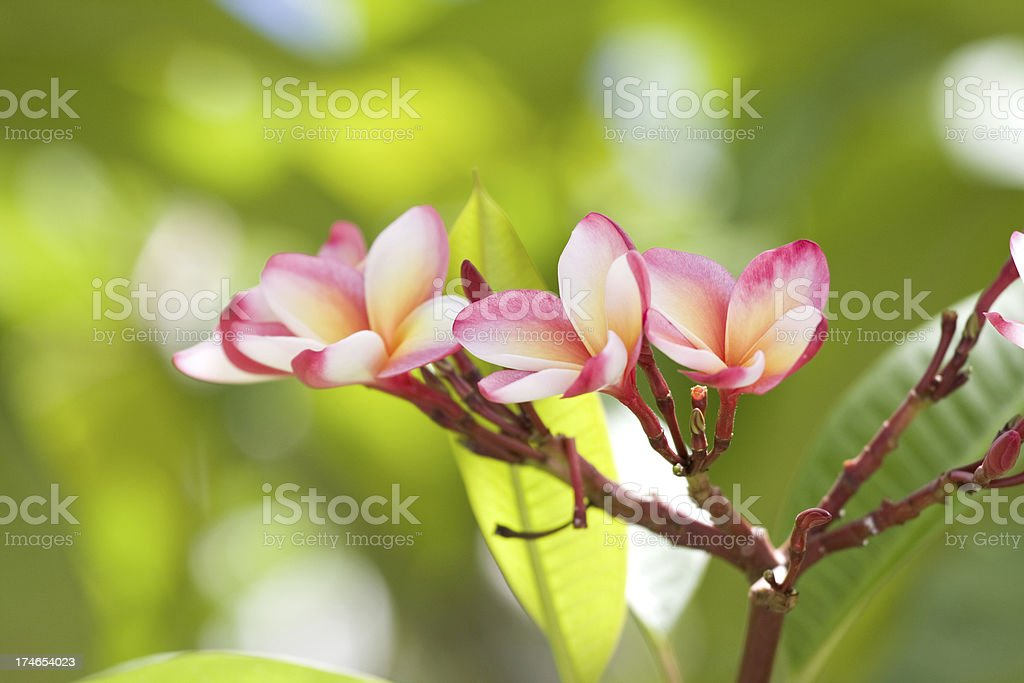 frangipanis royalty-free stock photo