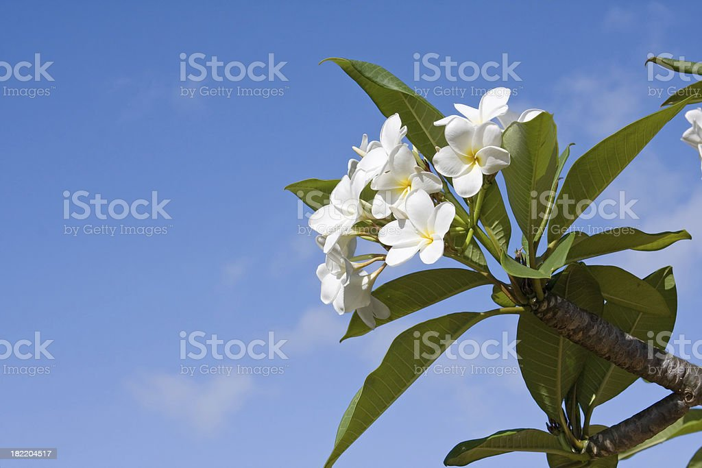 frangipanis tree royalty-free stock photo