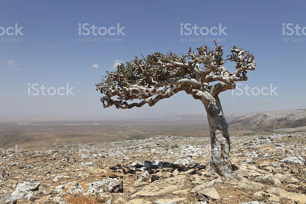 A Frankincense or Boswellia tree in a desert landscape stock photo