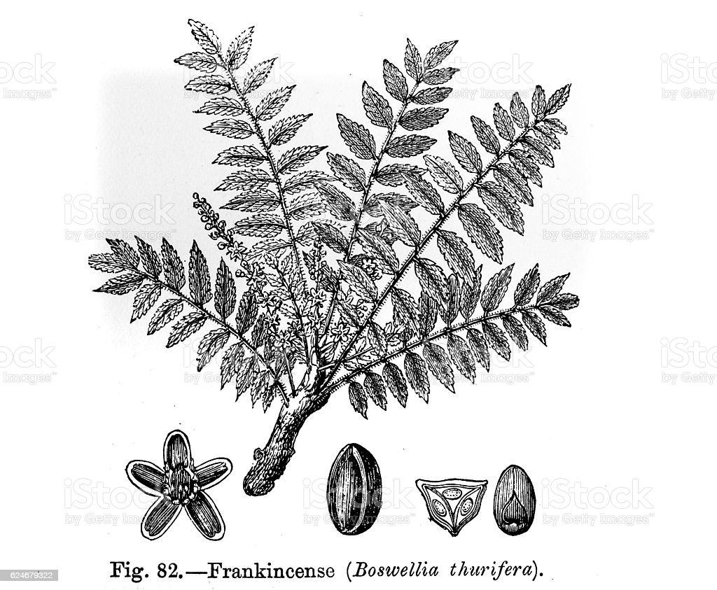 Frankincense Plant stock photo