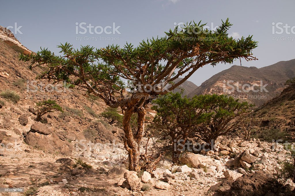Frankincense tree hill in the middle of a dessert royalty-free stock photo