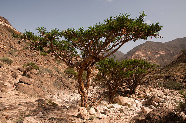 Frankincense tree hill in the middle of a dessert stock photo