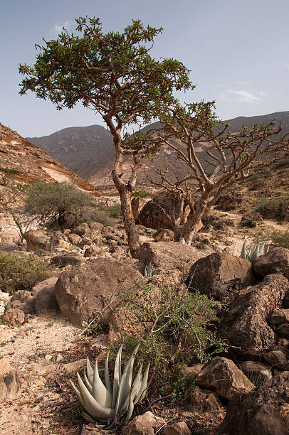 Frankincense tree Frankincense tree in Dhofar mountain, Oman mahroch stock pictures, royalty-free photos & images