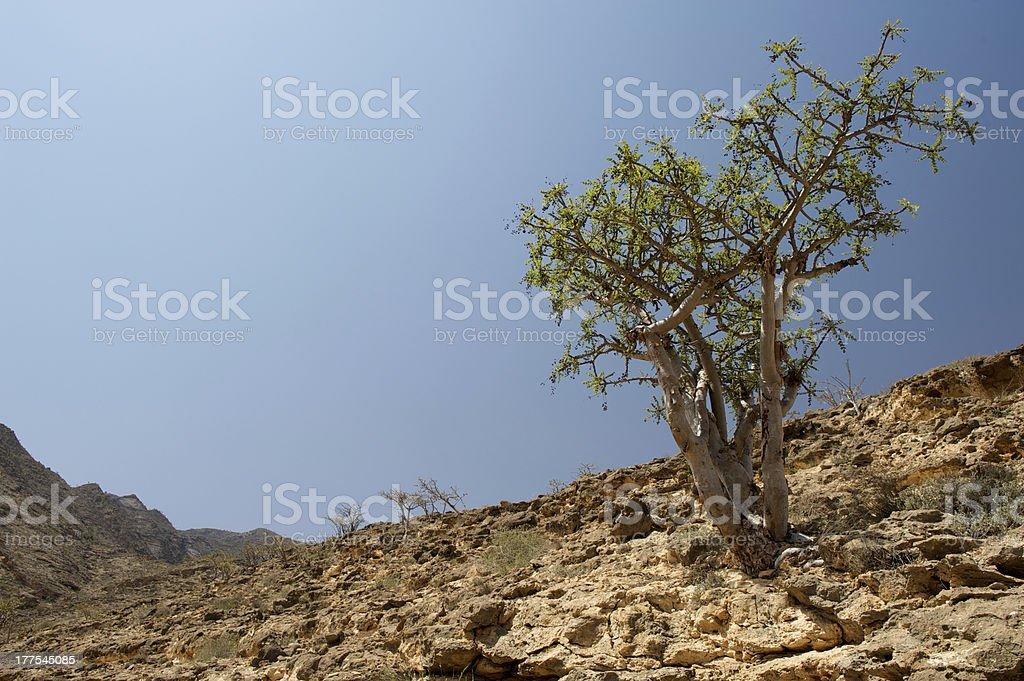 Frankincense tree stock photo