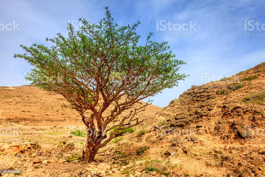 Frankincense Tree Stock Photo Download Image Now Istock