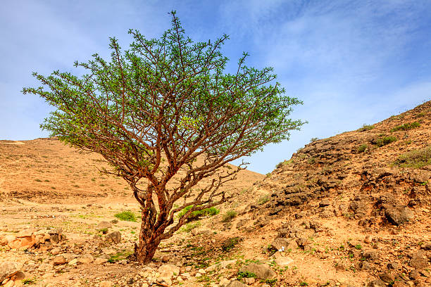 Frankincense tree Frankincense tree growing in a desert near Salalah, Oman incense stock pictures, royalty-free photos & images