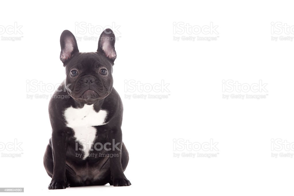 Franse buldog sitting stock photo