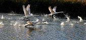 Mute swans are perhaps the world's heaviest flying birds, and that can make learning to fly a struggle. Here, a group of large cygnets (mute swans, Cygnus olor) run frantically on the water as part of a lesson in learning to fly. Mitcham Pond, Merton, England.