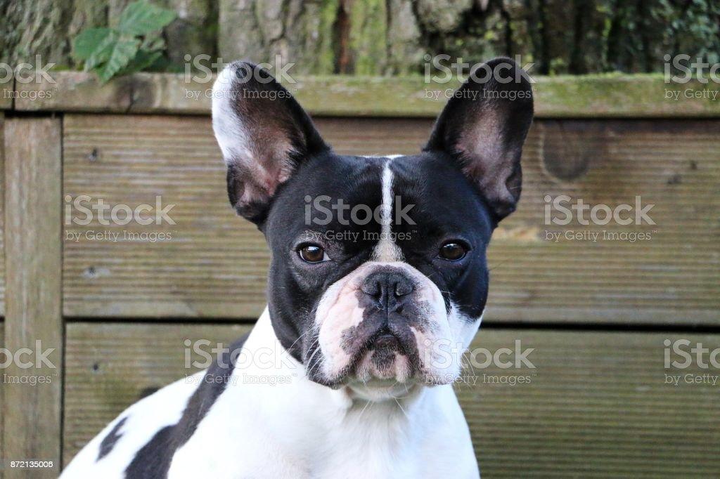 Französische Bulldogge retrato - foto de stock