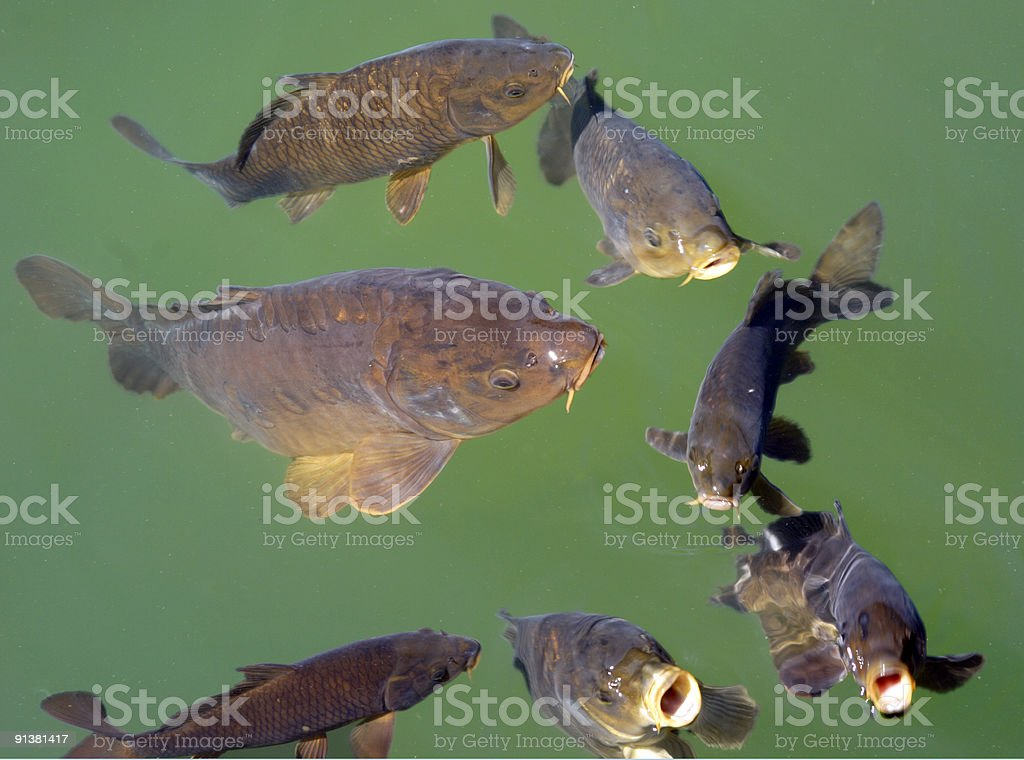 franzy fish royalty-free stock photo