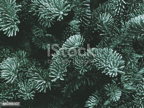 Fraser Fir Winter Holiday Branches Texture