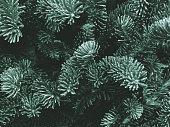 Fraser Fir Texture