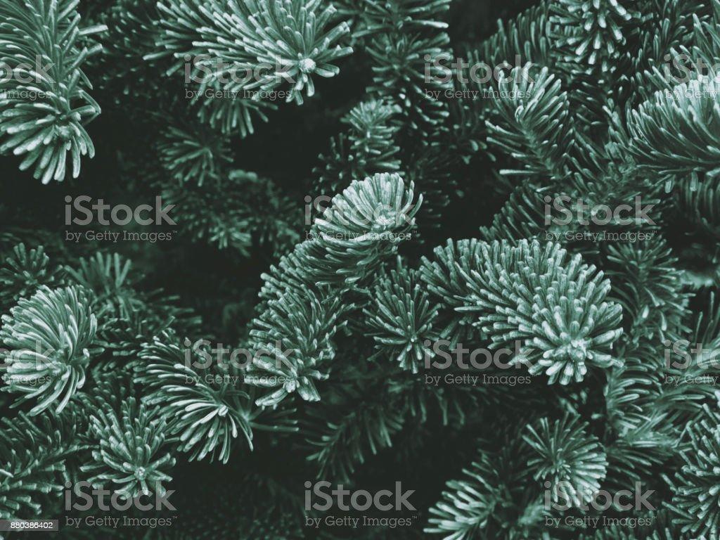 Textura de abeto de Fraser - foto de acervo