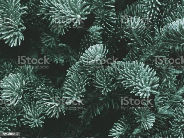 Photo of Fraser Fir Texture
