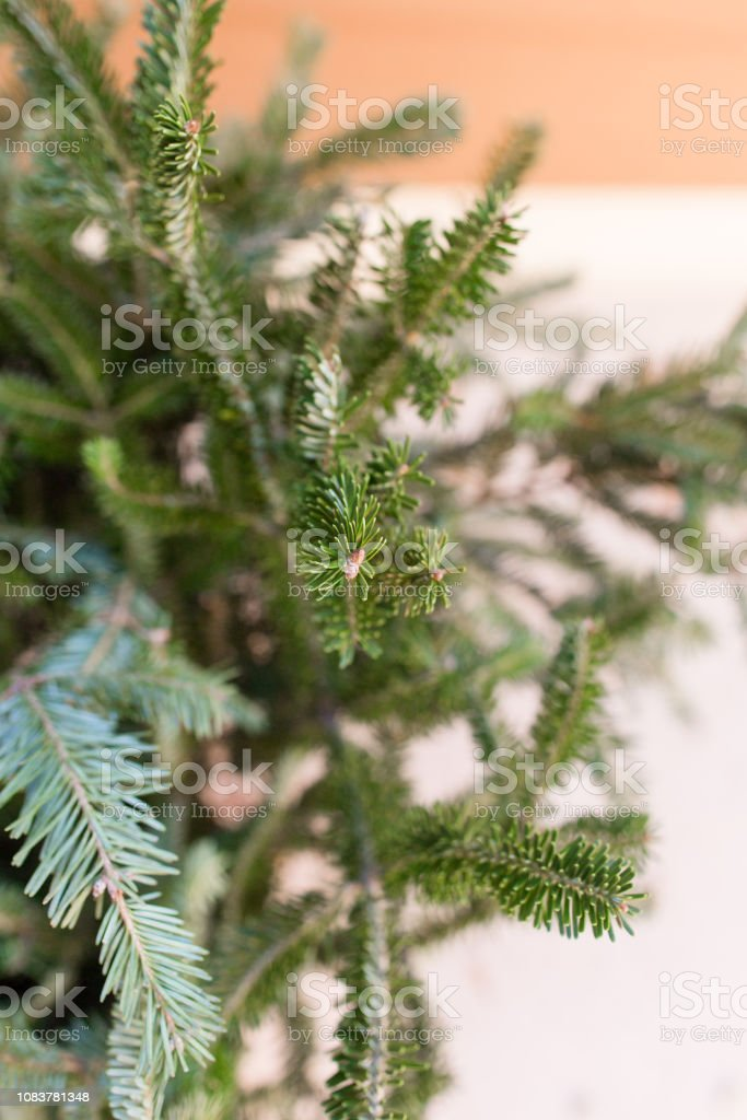Fraser Fir Tree Branches in a Basket at Christmas time in West Palm...