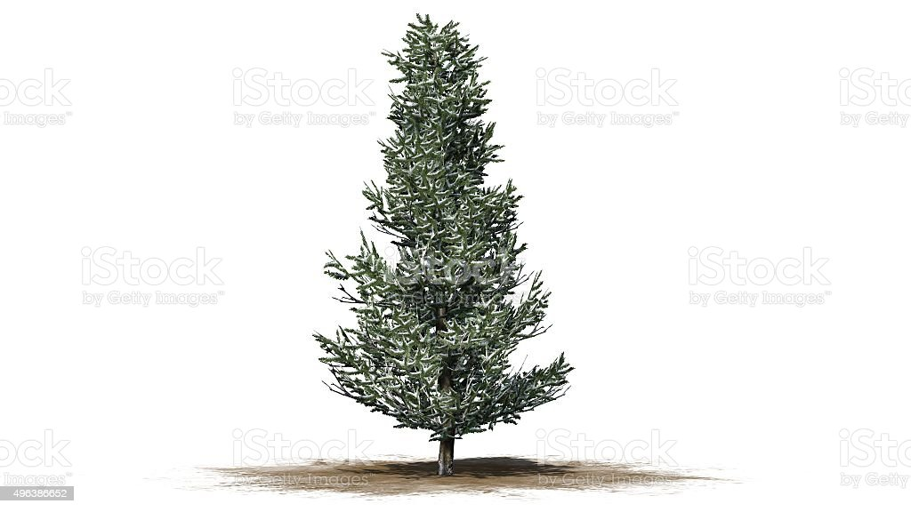 Fraser Fir winter - tree isolated on white background stock photo