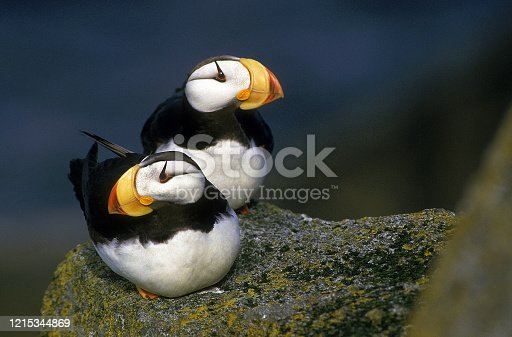 HORNED PUFFIN fratercula corniculata, PAIR ON ROCK IN ALASKA