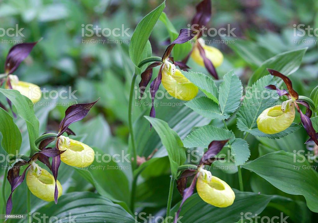 Frauenschuh Orchidee stock photo