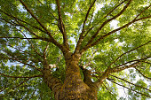 istock Fraxinus excelsior, more commonly known as the Ash tree 92243236