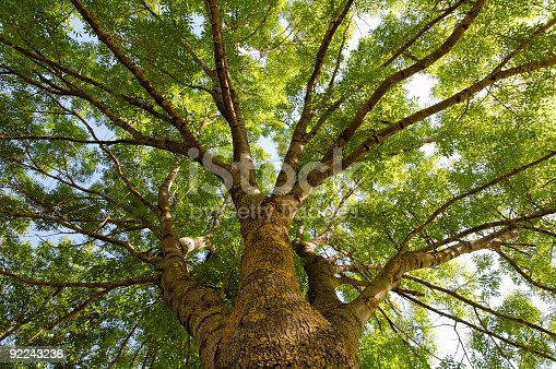 A tree photographed from below. It is an ash (Fraxinus excelsior) in summer