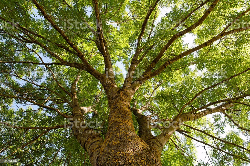 Fraxinus excelsior, more commonly known as the Ash tree stock photo