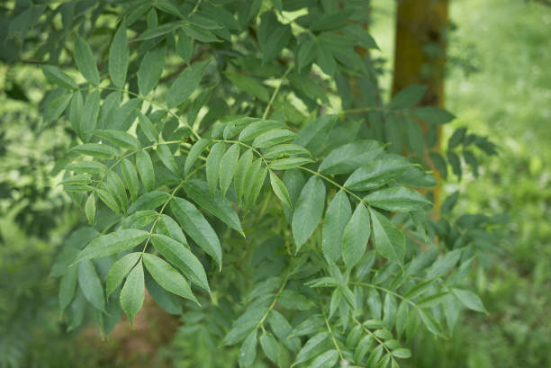 Fraxinus excelsior stock photo
