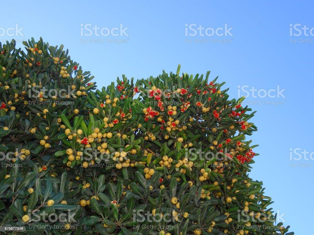 Früchtestrauch stock photo