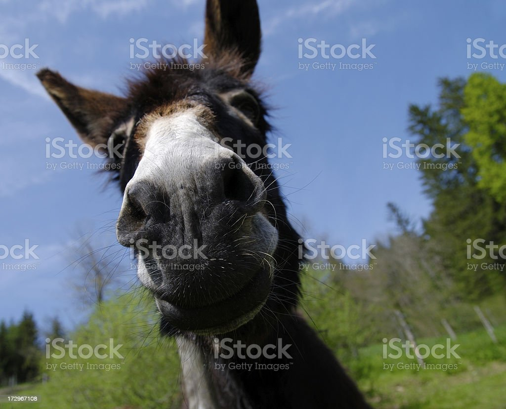 Freak donkey royalty-free stock photo