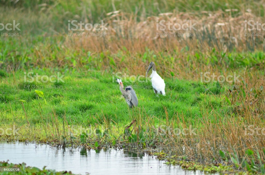 Freaking out lakeside Great Blue Heron with Wood Stork stock photo