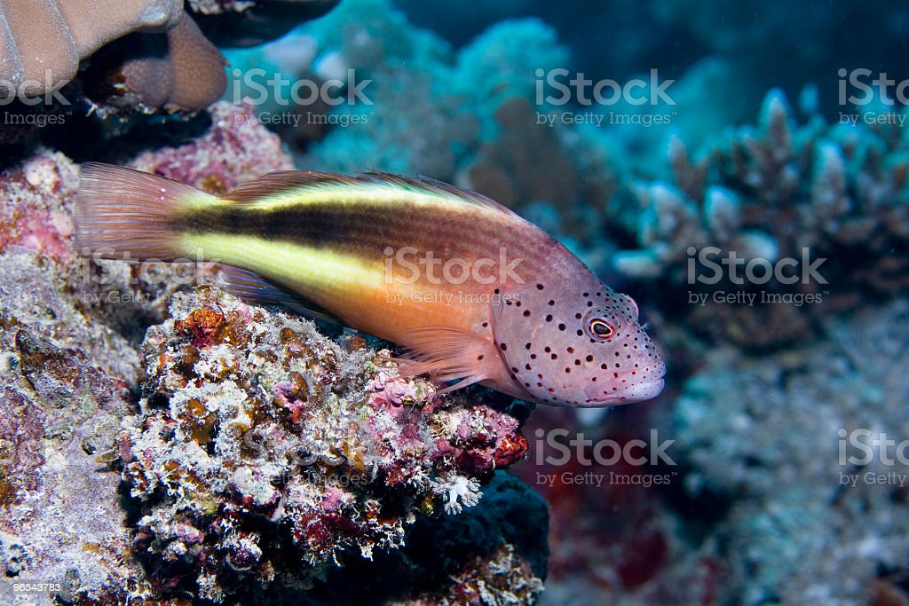 Freckled Hawkfish royalty-free stock photo