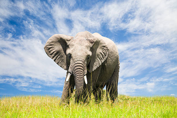 Free African Elephant Free African Elephant african elephant stock pictures, royalty-free photos & images