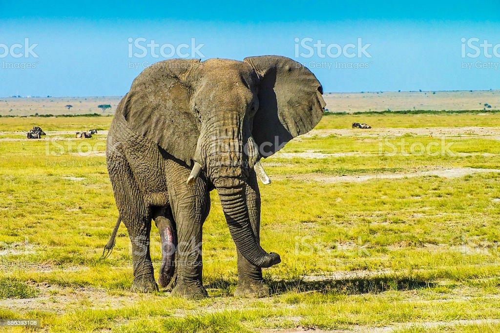 Free African Elephant stock photo