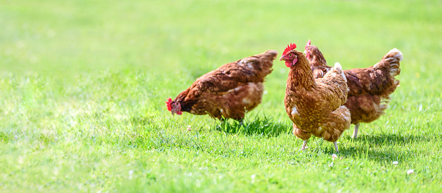 Hens on a traditional free range poultry organic farm grazing on the grass with copy space