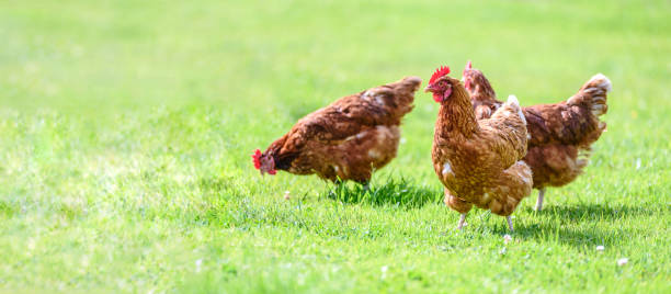 Free and happy hens banner Hens on a traditional free range poultry organic farm grazing on the grass with copy space hen stock pictures, royalty-free photos & images