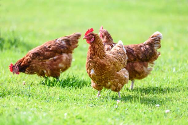 Free and happy hens Hens on traditional free range poultry organic farm grazing on the grass hen stock pictures, royalty-free photos & images