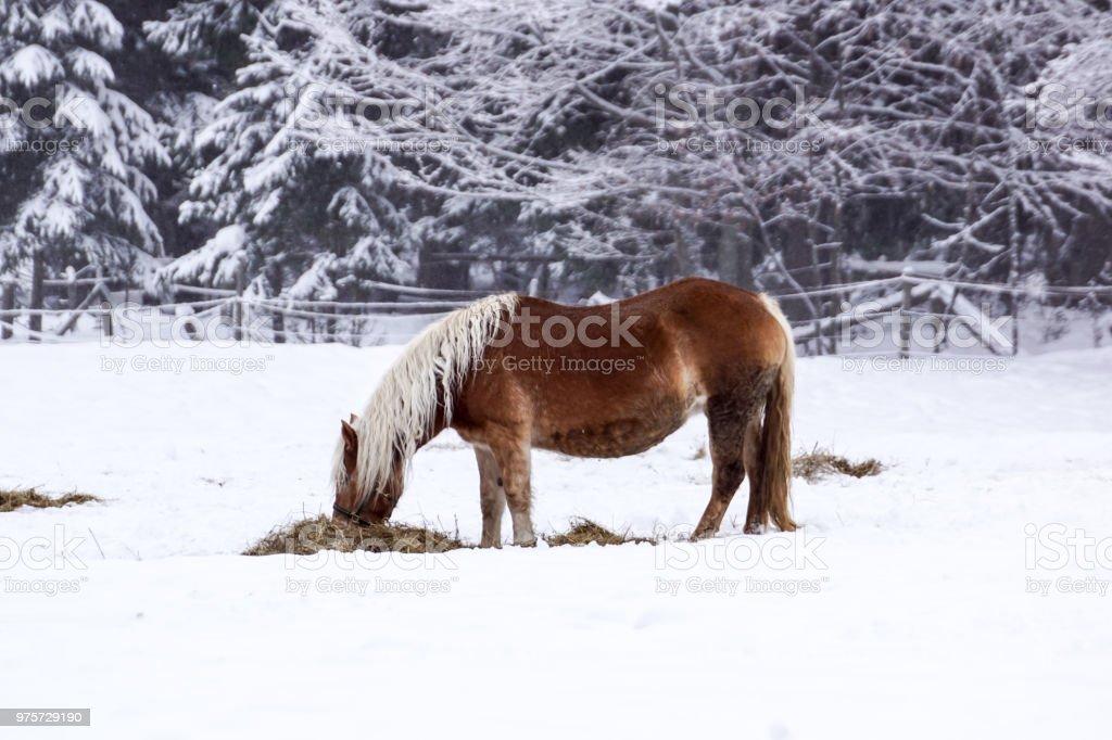 Kostenlose Schone Braunes Pferd Geniesst Sonne Und Schnee Im Winter