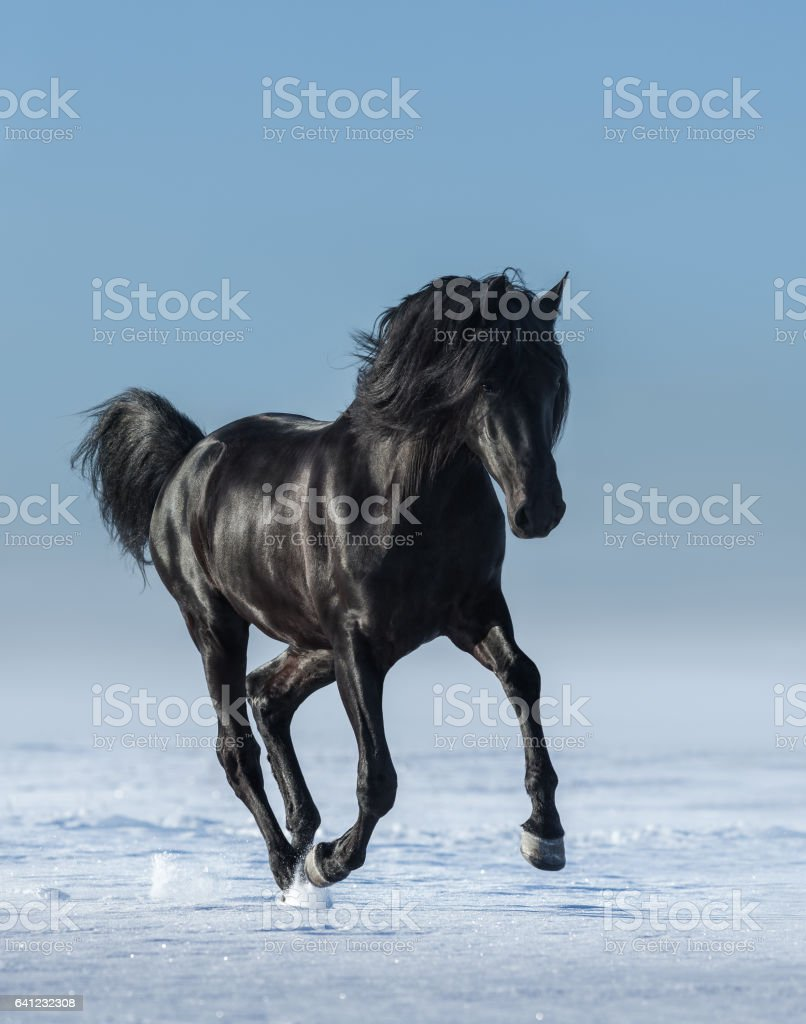 Free black horse in the field in the winter. stock photo