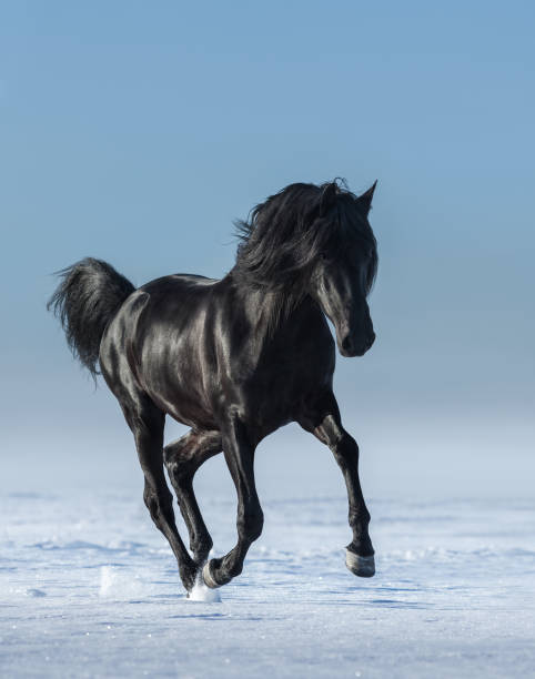 Free black horse in the field in the winter. – Foto