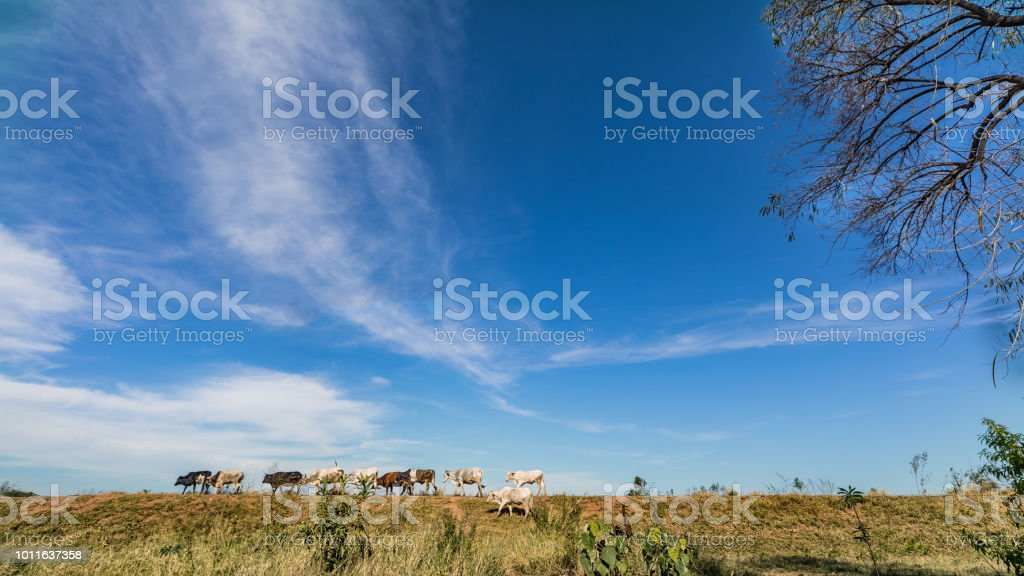 Free cows in the grassland of Paraguay. stock photo