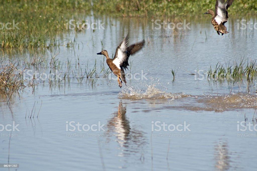 Free ducks flying royalty-free stock photo